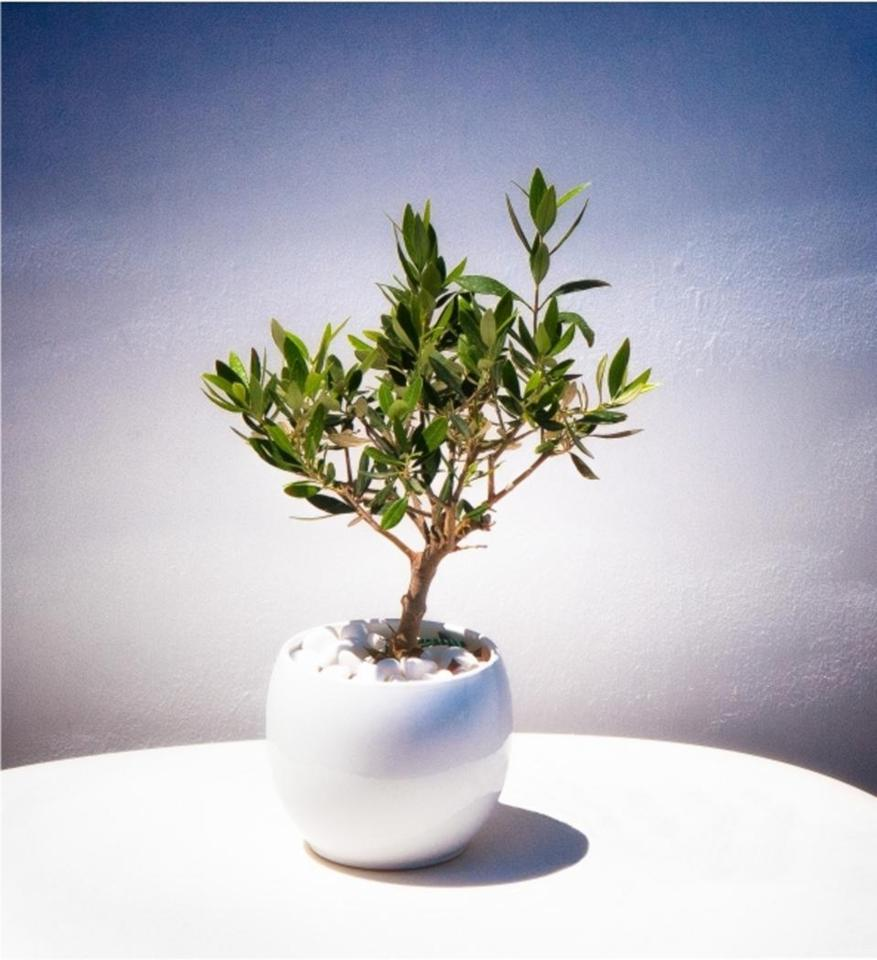 Elian Olive Tree Gift