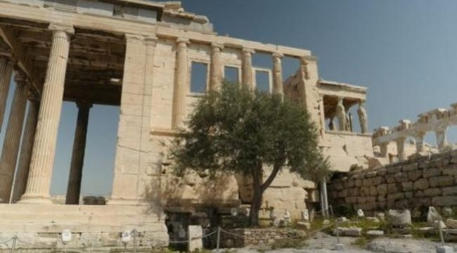 Olive tree in Acropolis